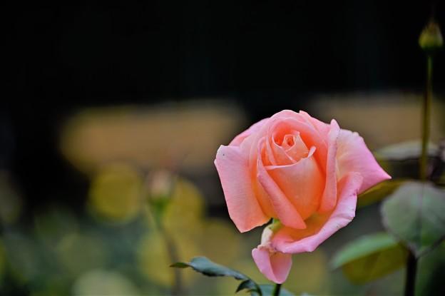 秋バラ(ピンク)