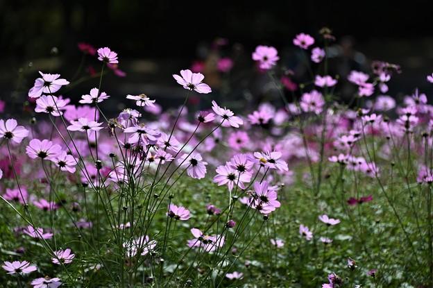 秋桜(ピンク)