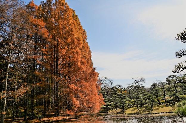 Photos: メタセコイヤ