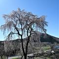 Photos: 里の桜