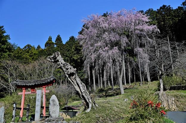 日枝神社の桜