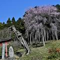 Photos: 日枝神社の桜