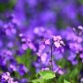 Photos: 紫の君?