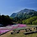 Photos: 芝桜日和