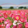 Photos: こうのす花まつり