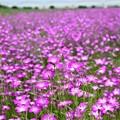 Photos: こうのす花まつり2