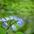 Photos: 紫陽花(ブル-)