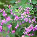 Photos: 萩の花