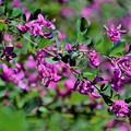 Photos: 萩の花2
