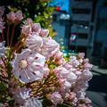 Photos: カルミア咲き始めました。