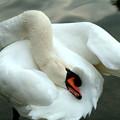 Photos: 白鳥、お掃除中