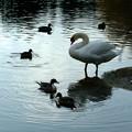 Photos: 名古屋城のお堀の白鳥たち