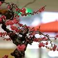 Photos: 紅梅と傘