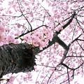 写真: sakura02