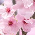 写真: 桜の花02