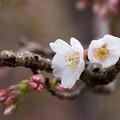 写真: 桜の花08