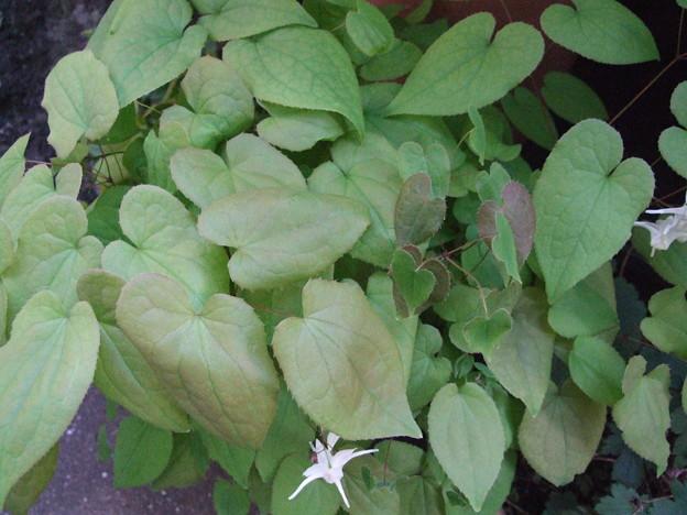 イカリソウの葉