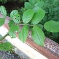 イバラの葉