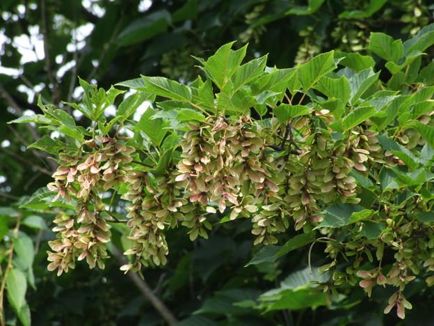 木の花 2(ウリハダカエデの実のようです)