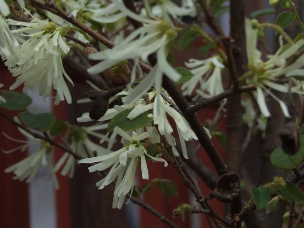 木の花 (トキワマンサクでした)