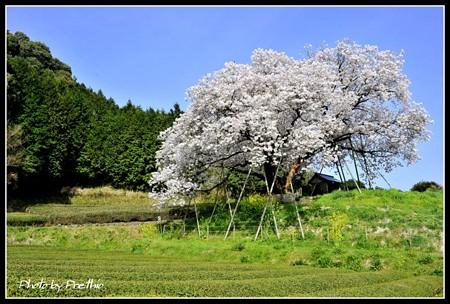 嬉野の100年桜