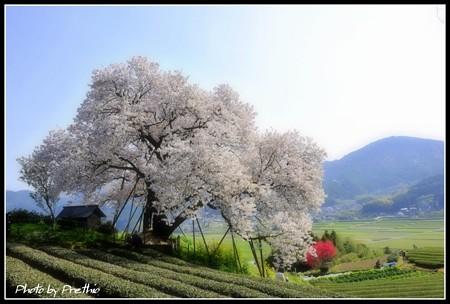 嬉野の百年桜(1)