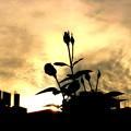 夕暮の薔薇