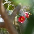 花椿のほほえみ
