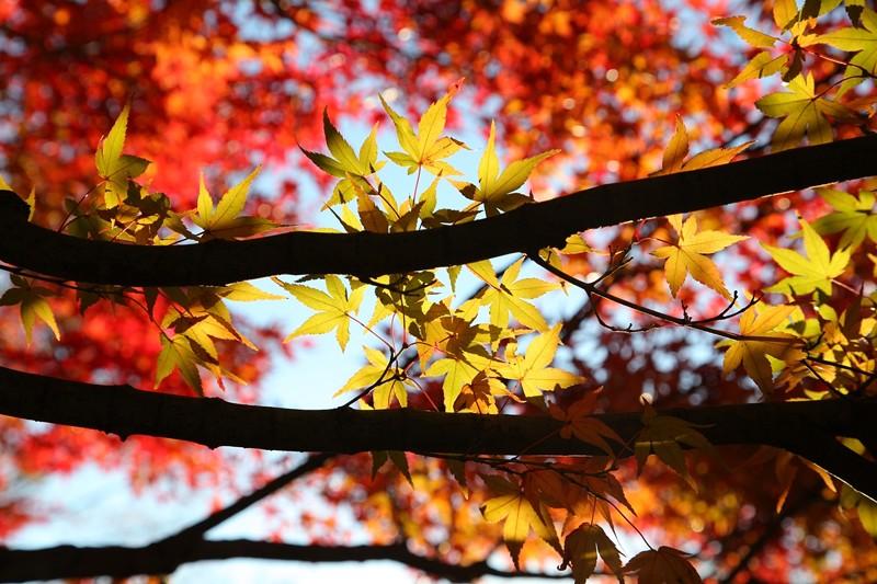 紅葉(昭和記念公園)