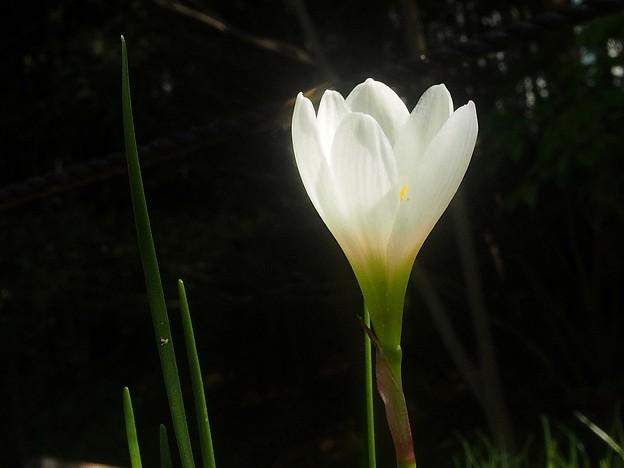 珠のような花