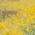 Photos: 菜の花の咲く丘