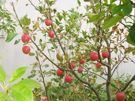 1004 リンゴ 113
