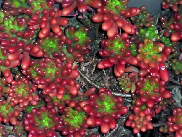 セダム 虹の玉 ベンケイソウ科 多肉植物 ?