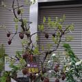 0320 ロウヤガキ カキノキ科 盆栽