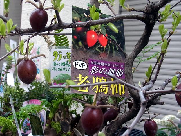 0320 ロウヤガキ 盆栽 カキノキ科  名札 句 タラノキ II