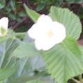 Photos: シロヤマブキ 0414 032