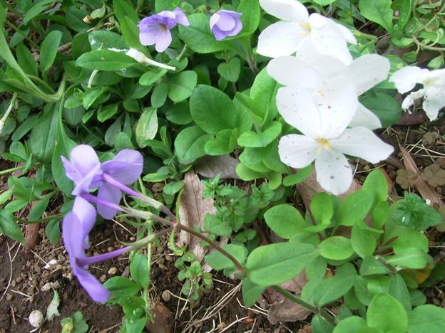 ペチュニア 白 紫 ナス科 0422 086