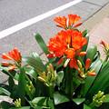 Photos: クンシラン 0423 058