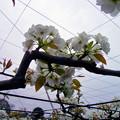 Photos: ナシ バラ科 0420 019