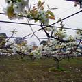 Photos: ナシ バラ科 0420 020