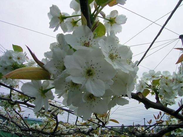Photos: ナシ バラ科 0420 017 ?