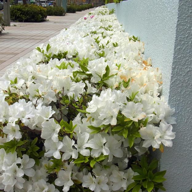 ツツジ 白 花壇 0428 747