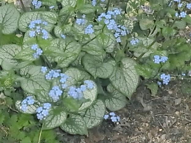 ブルンネラ ムラサキ科 ブルンネラ属 青 ブルー 0411 049