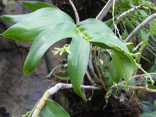 ヘゴ 着生植物 ラン セッコク 0406