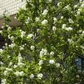 ヒメリンゴ リンゴ 0408 1
