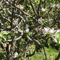 リンゴ 0408 1