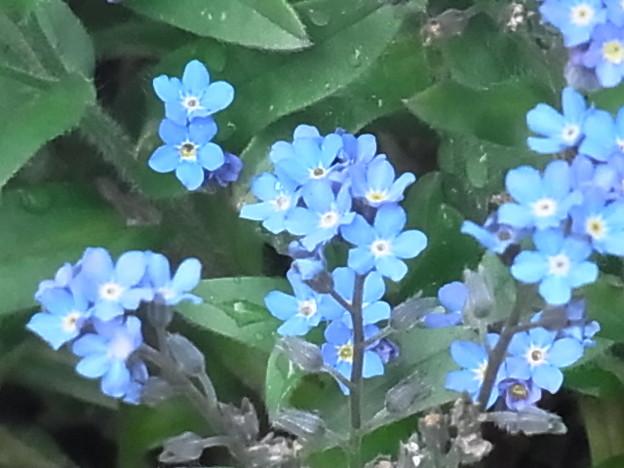 ワスレナグサ ブルー 青 ムラサキ科 0410 005
