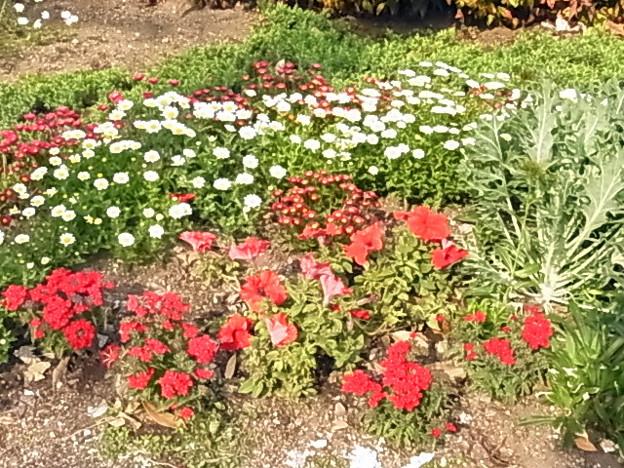花壇 ノースポール ヒナギク ペチュニア 0430 122