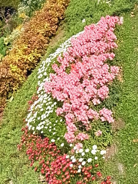 花壇 ヒナギク キンギョソウ オタフクナンテン 0430 123