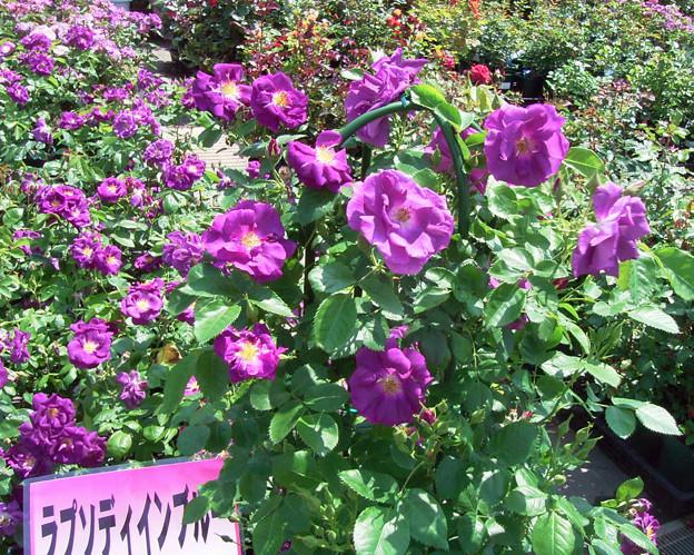 バラ 紫 ラプソディーインブルー 019